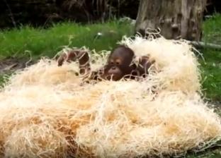 بالفيديو| إنسان غاب مرح.. قرد يختبئ داخل القش في مقطع مضحك