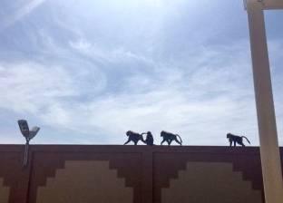 بالصور| القرود والكلاب تقتحم جامعة سعودية وتثير ذعر الطالبات