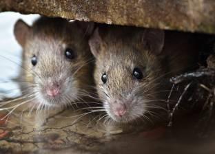 """""""الفئران"""" آخر أمل علمي لتحديد علامات الشيخوخة.. ما علاقة الفضاء؟"""