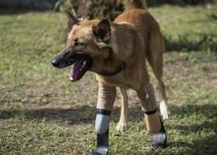 """فقد أطرافه الأربعة عقابا على """"شقاوته"""".. """"كولا"""" كلب بأطراف صناعية"""