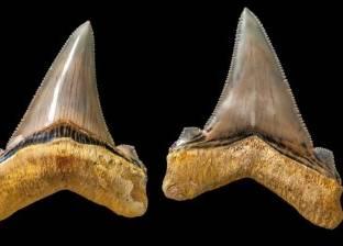 اكتشاف أسنان قرش منقرض عمرها 25 مليون سنة