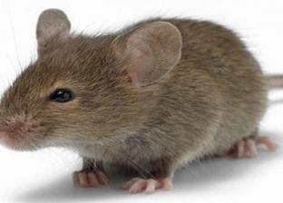 """""""المرعب الصغير"""".. حكايات المصريين مع الفأر تنتهي أحيانا بالوفاة"""