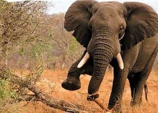 فيديو.. فيل يصرخ ويبكي أثناء ضرب بوحشيه على رأسه