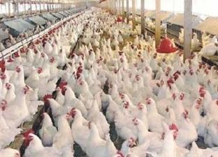 تحصين وعلاج نحو 17 ألف طائر ضد الأمراض الوبائية في كفر الشيخ