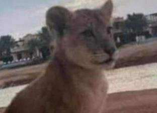 أسد الجونة في طريقه إلى حديقة الحيوان: ممنوع تربية الحيوانات الشرسة
