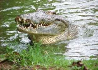 ظهور تمساح كبير في جزيرة إندونيسية لأول مرة منذ 15 عاما