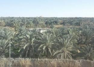 """زراعة قنا تفحص 278 ألف نخلة من """"سوس النخيل"""""""