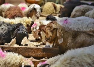 القومي للبحوث يحذر: يجب فحص أضحية العيد بعد الذبح تجنبا لنقل الأمراض