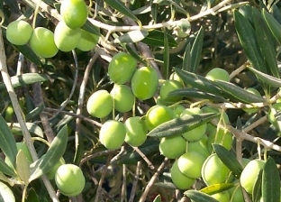 """""""زراعة جنوب سيناء"""": رفع درجة الاستعداد لموسم عصر الزيتون"""