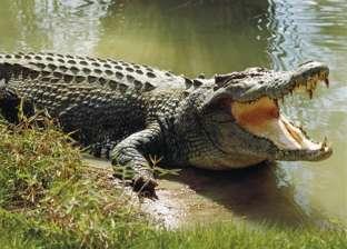 """تمساح بسكين في """"رأسه"""" يثير الذعر في ولاية أمريكية"""