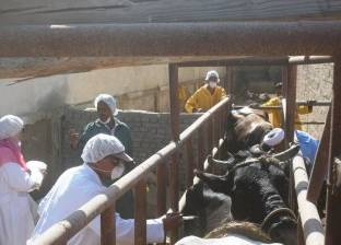 """محافظ السويس يتابع أعمال تطعيم الماشية بمحطة """"التسمين وإنتاج الألبان"""""""