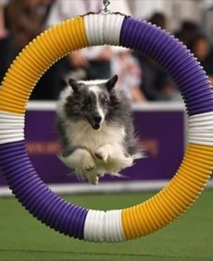 """الكلبة """"Fame"""" تفوز بمسابقة الرشاقة للكلاب في نيويورك"""