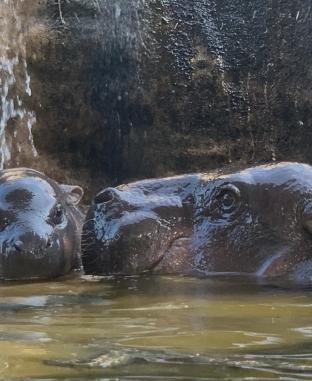 فرس النهر يلهو في حديقة حيوانات بتايوان