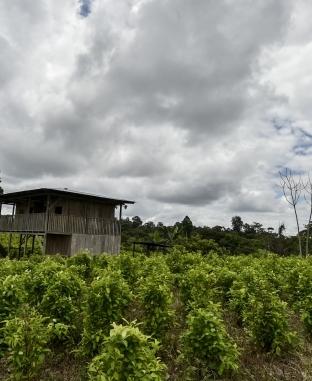 حصاد محصول «الكوكا» في كولومبيا.. هنا تُصنع المخدرا