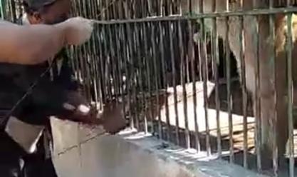 حديقة الحيوان بالإسكندرية تحيل عاملا ضرب أسدا أمام الزوار للتحقيق