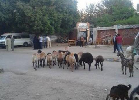 في أسيوط.. غاب الناخبون فاحتلت الخراف محيط مركز الاقتراع