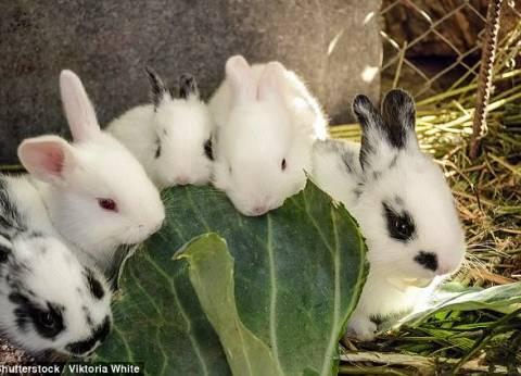 """""""الزراعة"""" تصدر قراراً ينظم تربية الأرانب لأول مرة وترخيص مزارعها"""