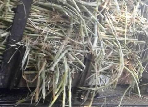 """""""سليم"""": زيادة سعر توريد القصب إلى 850 جنيها للطن"""