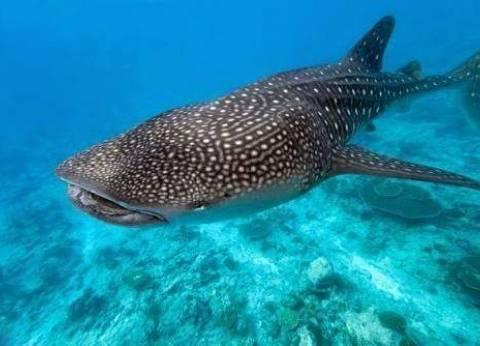 """""""الإنقاذ البحري"""": ظهور القرش الحوتي المسالم بالغردقة وإجراءات لتأمينه"""