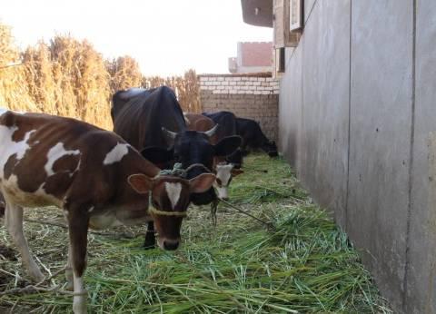 """""""بيطري الفيوم"""": نفوق 30 رأس ماشية بمرض """"جدري الأبقار"""" خلال 146 يوما"""