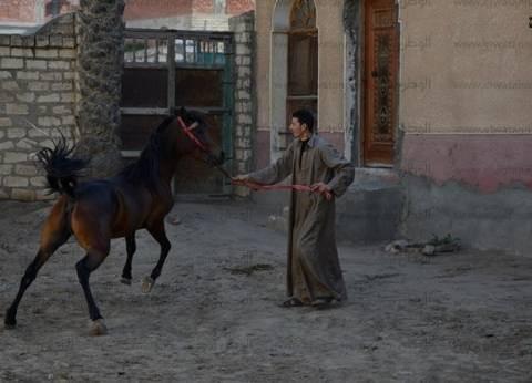 أرض الخيول الأصيلة.. شعارها «حصان جامح»