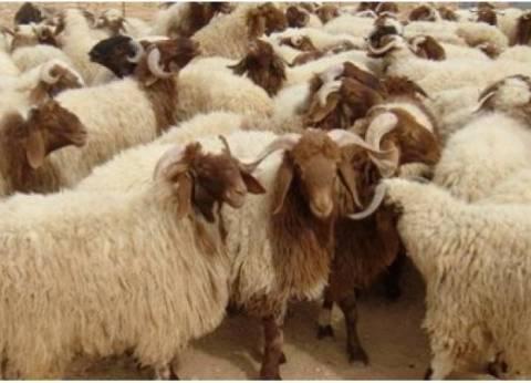 الزراعة: 30 ألف رأس من الأضاحي لازالت متوافرة بجمعيات الثروة الحيوانية