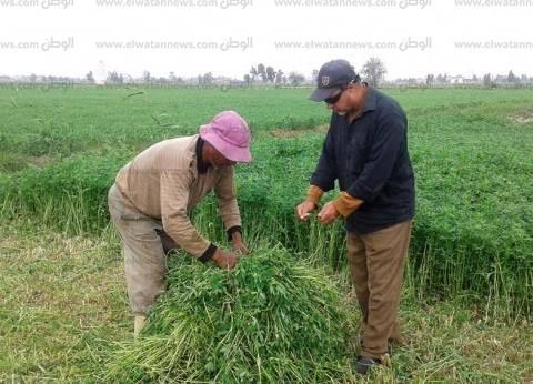 زراعة 267 ألف فدان قمح وبرسيم وكتان وفول في كفر الشيخ