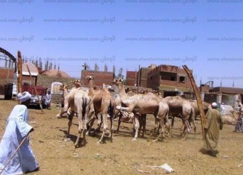 الإفراج عن شحنة تضم 3844 رأس جمل واردة من السودان بأسوان