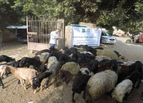 """علاج 733 رأس ماشية خلال قافلة بيطرية لـ""""مصر الخير"""" في المنيا"""