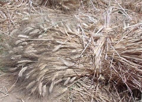 """""""زراعة جنوب سيناء"""": إجمالي المساحة المزروعة بالقمح 980 فدانا"""