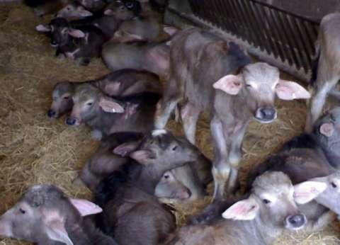 """خبراء عن منع ذبح """"البتلو"""": القرار يحمي الثروة الحيوانية"""