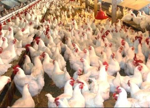 """فضيحة """"المضادات الحيوية"""" في الهند تروع أسواق الدجاج بالعالم"""