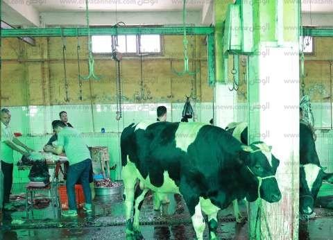 فتح مجازر كفر الشيخ وتوزيع لحوم 55 رأس ماشية على المحتاجين