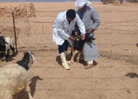 """""""بيطري الغربية"""": تحصين 207 آلاف رأس ماشية ضد الحمى القلاعية"""