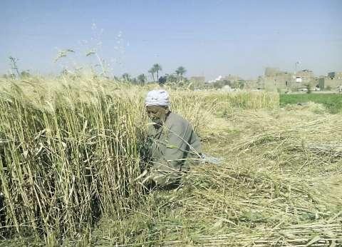 """""""زراعة كفر الشيخ"""" تبدأ توزيع تقاوي القمح والفول"""