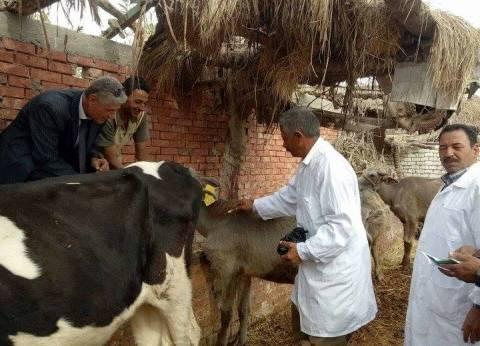 تحصين 149 ألفا و101 رأس ماشية ضد الحمى القلاعية في بني سويف