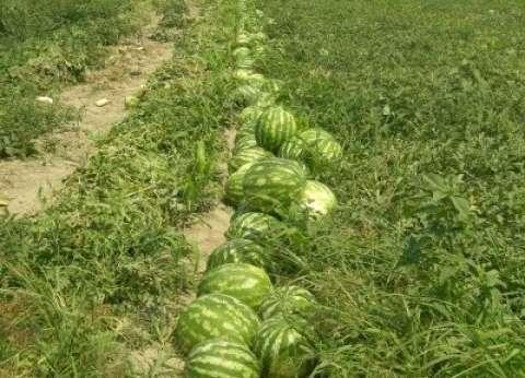 """وزير الزراعة: البطيخ المصري آمن ومتبقيات المبيدات به أقل من """"المسموح"""""""