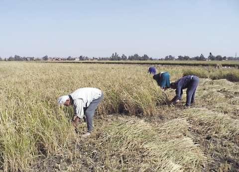 «الرى» تنفذ تجربة لزراعة الأرز بـ«التكثيف»