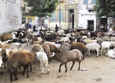 غدا.. مجلس مدينة دهب يحتجز الأغنام والماعز الطليقة بالشوارع