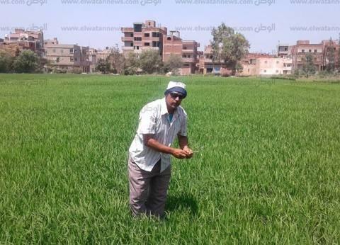 البنا: زراعة 1.2 مليون فدان أرز خلال الموسم الصيفي