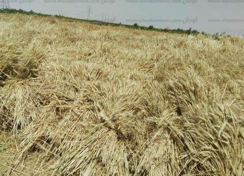 خبراء يوضحون إجراءات حماية المحاصيل بعد التقلبات الجوية الأخيرة