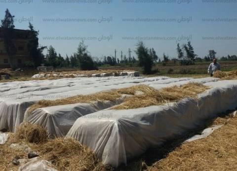 """تجميع وتدوير 20 ألف طن """"قش أرز"""" في كفر الشيخ"""