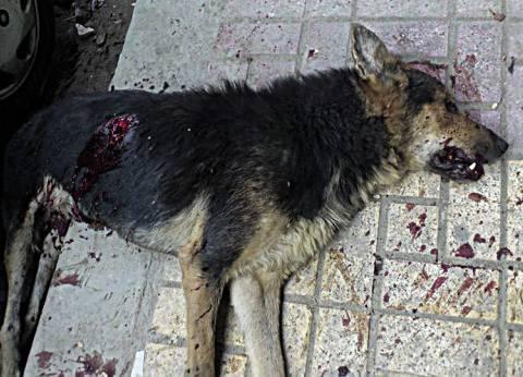 """""""الزراعة"""": الكلاب الضالة انتشرت في المدن الجديدة بعد ثورة 25 يناير"""