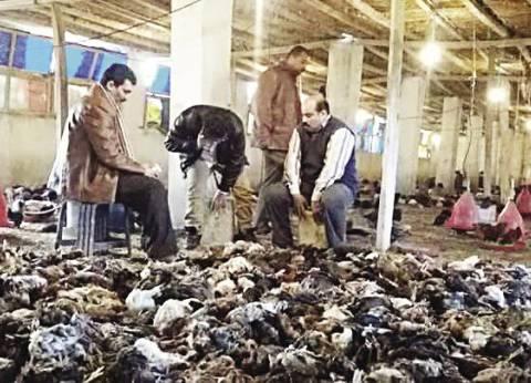«الطب البيطرى» تعدم مزرعة دواجن بعد اكتشاف بؤرة لإنفلونزا الطيور
