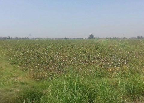 """""""زراعة دمياط"""" للمزارعين: غير مسموح بالاتجار في أقطان الإكثار"""