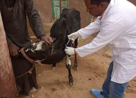 محافظ الغربية: تحصين 61 ألف و886 رأس ماشية ضد الحمى القلاعية