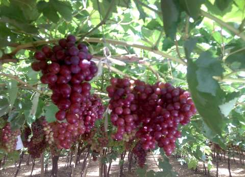 """""""الزراعة"""" تطالب مزارعي العنب بتدفئة المحصول مع انخفاض درجات الحرارة"""