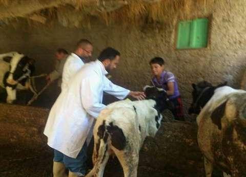 مديرية الطب البيطري تنتهي من تحصين المواشي ضد الأمراض بشمال سيناء