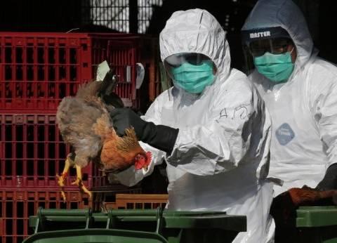 """""""بيطري"""" المنوفية: بدء تنفيذ التحصين لبؤرة أنفلونزا الطيور بالشهداء"""