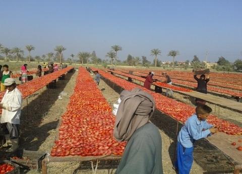 تاجر: ارتفاع سعر الطماطم بسبب تراجع المعروض